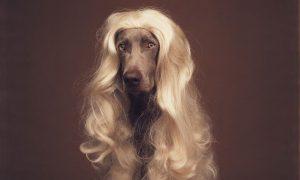 photographe célébre pour chiens wiliam wegman