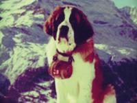 Focus : chien d'avalanche