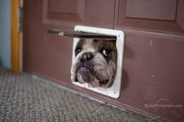photographie bouledogue dans une porte Mike Criss